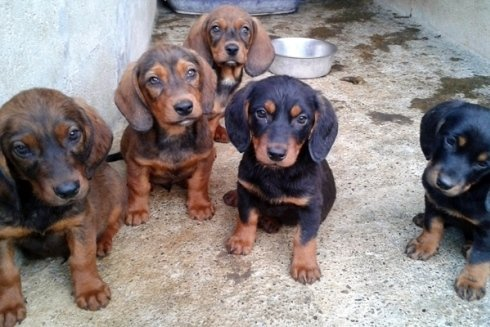 Alcuni cuccioli di razza Alpenlaendische Dachsbracke.