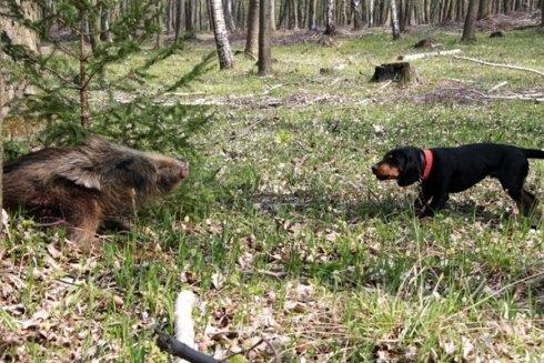 I cani di razza Slovensky Kopov sono ideali per battute di caccia.