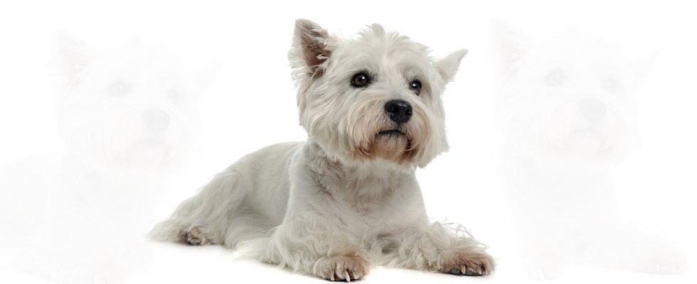 Terrier grooming