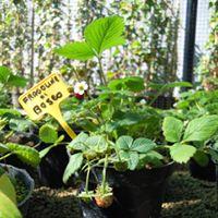 delle piante di fragoline di bosco