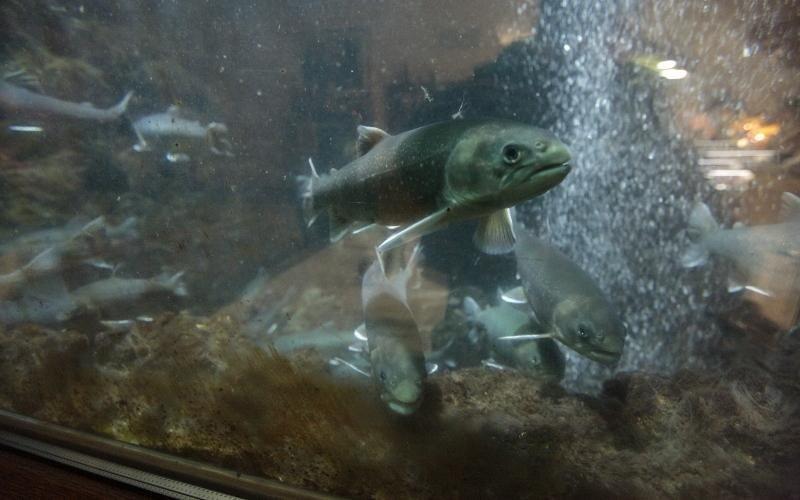 trote in un acquario