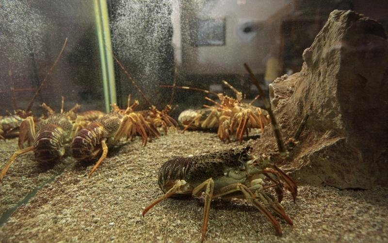 aragoste in un acquario