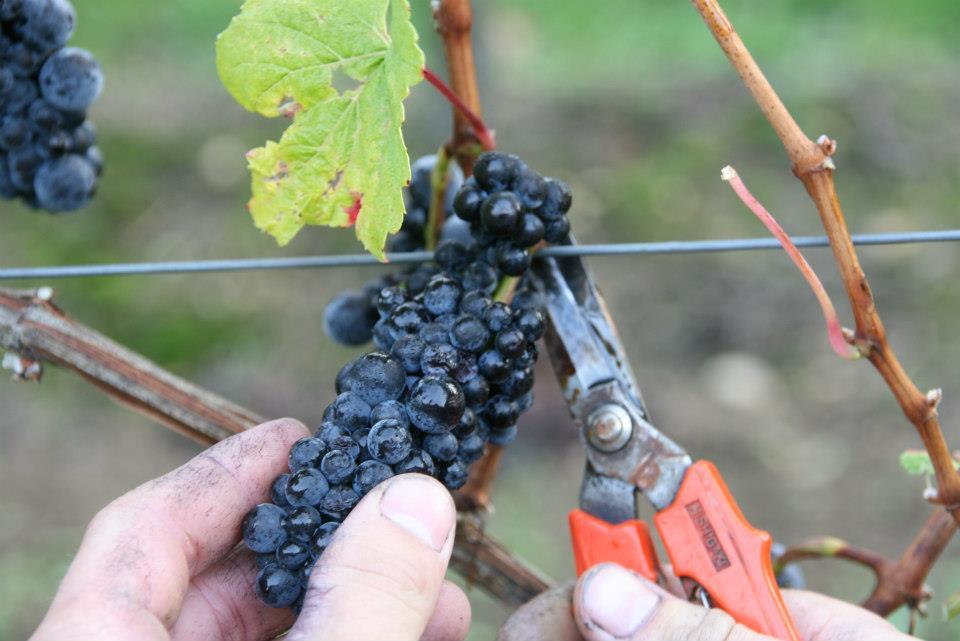 Weintrauben vom Weingut Baum bei der Lese