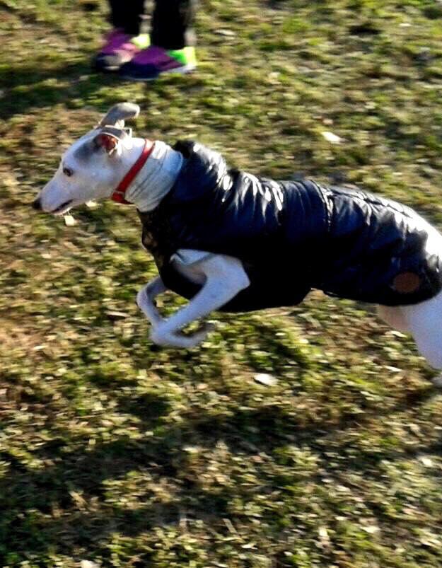 un cane bianco con un giubbotto mentre corre