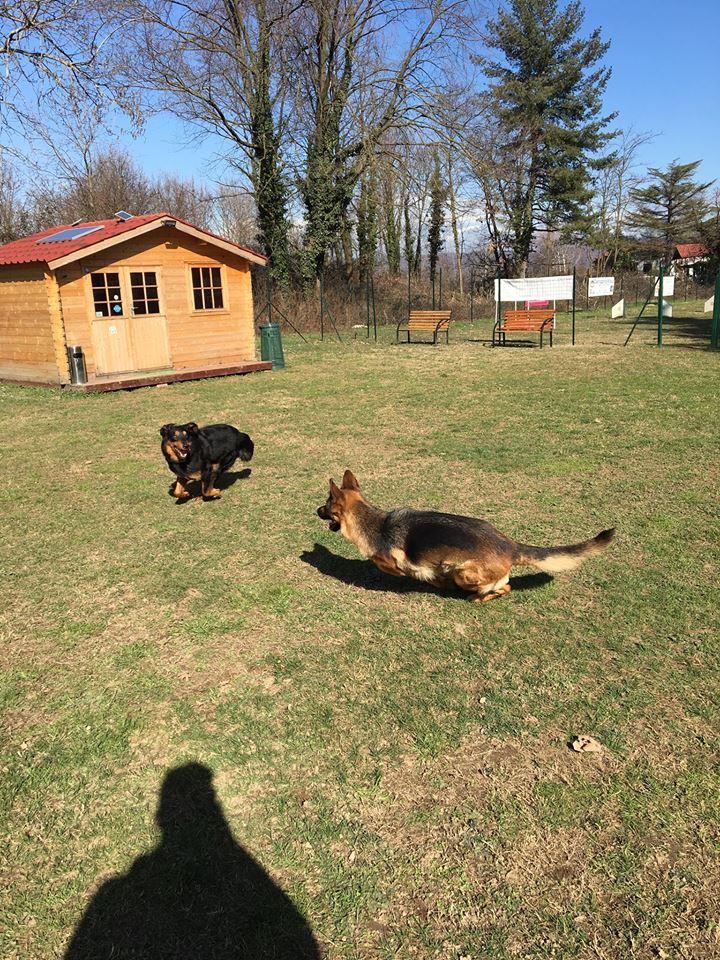 un cane Pastore Tedesco sdraiato sul prato mentre guarda un altro cane