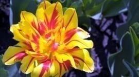fiorista