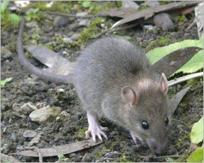How Much Food Does The Mice Eat Per Day