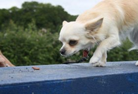 Dog on balancing beam