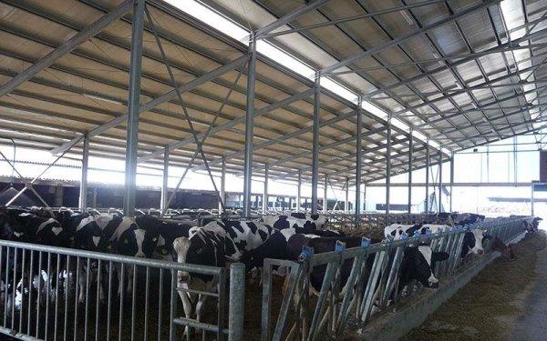 Delle mucche in una recinzione in ferro all'interno di un edificio