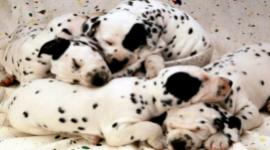 vendita cuccioli vaccinati con microchip e pedigree Roma
