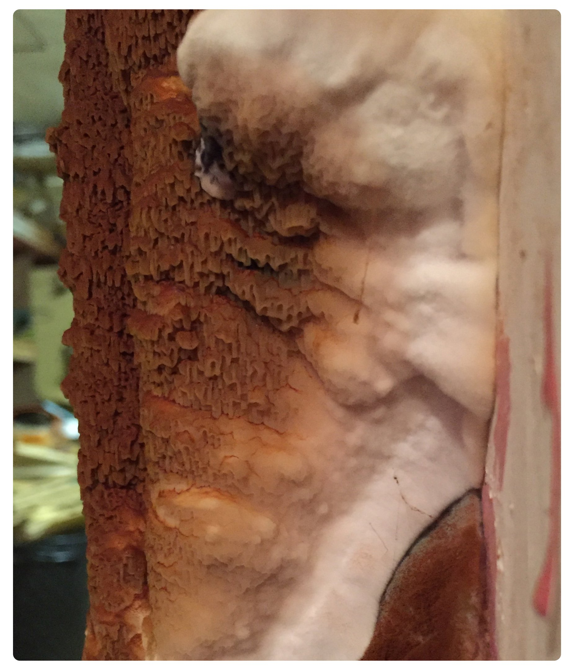 Dry rot spore