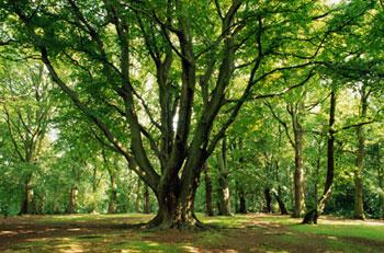 Big tree with greenery