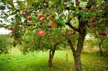 Fertilization of trees