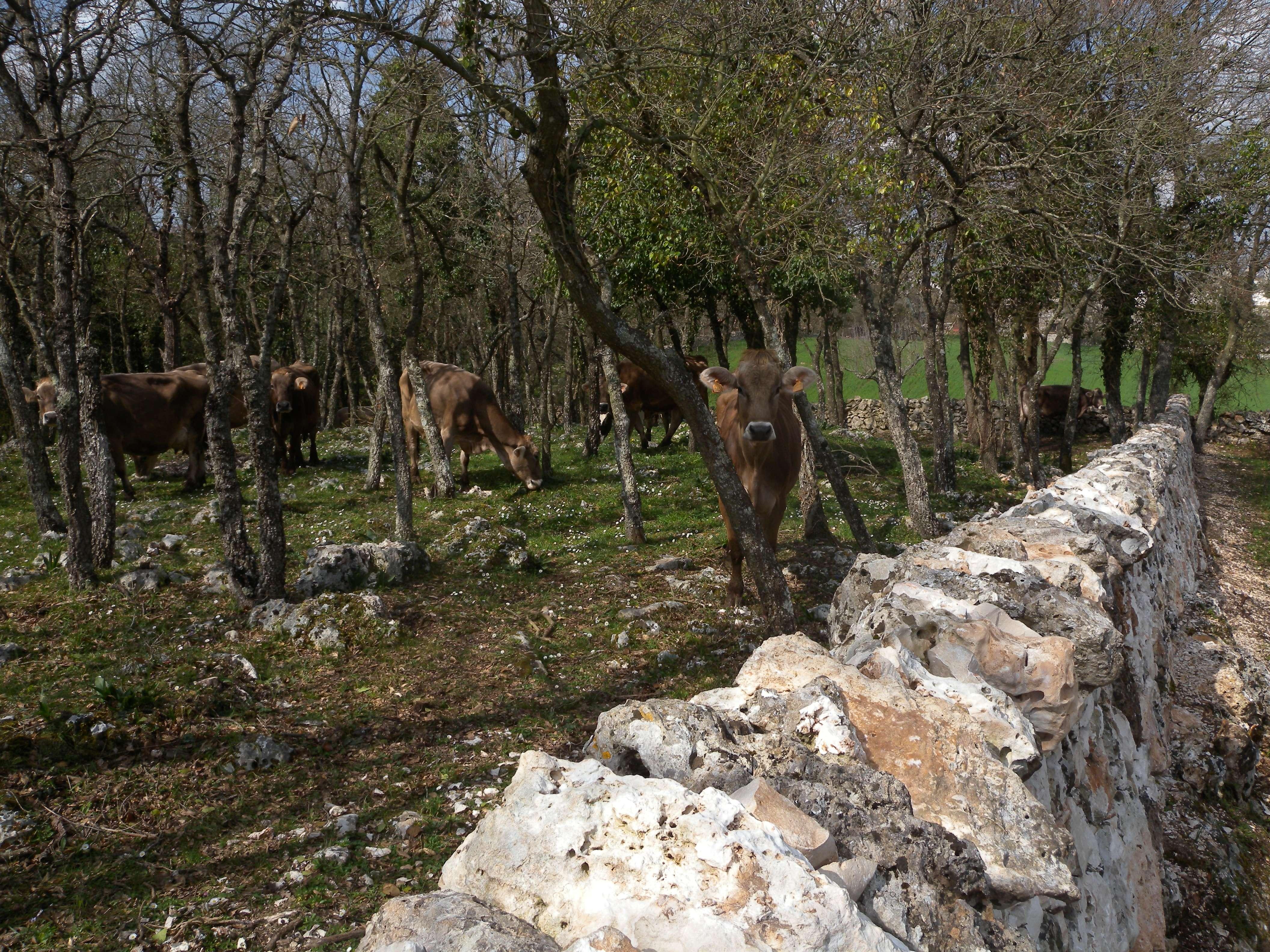mucche sotto ad alberi al di là di un muro in pietra