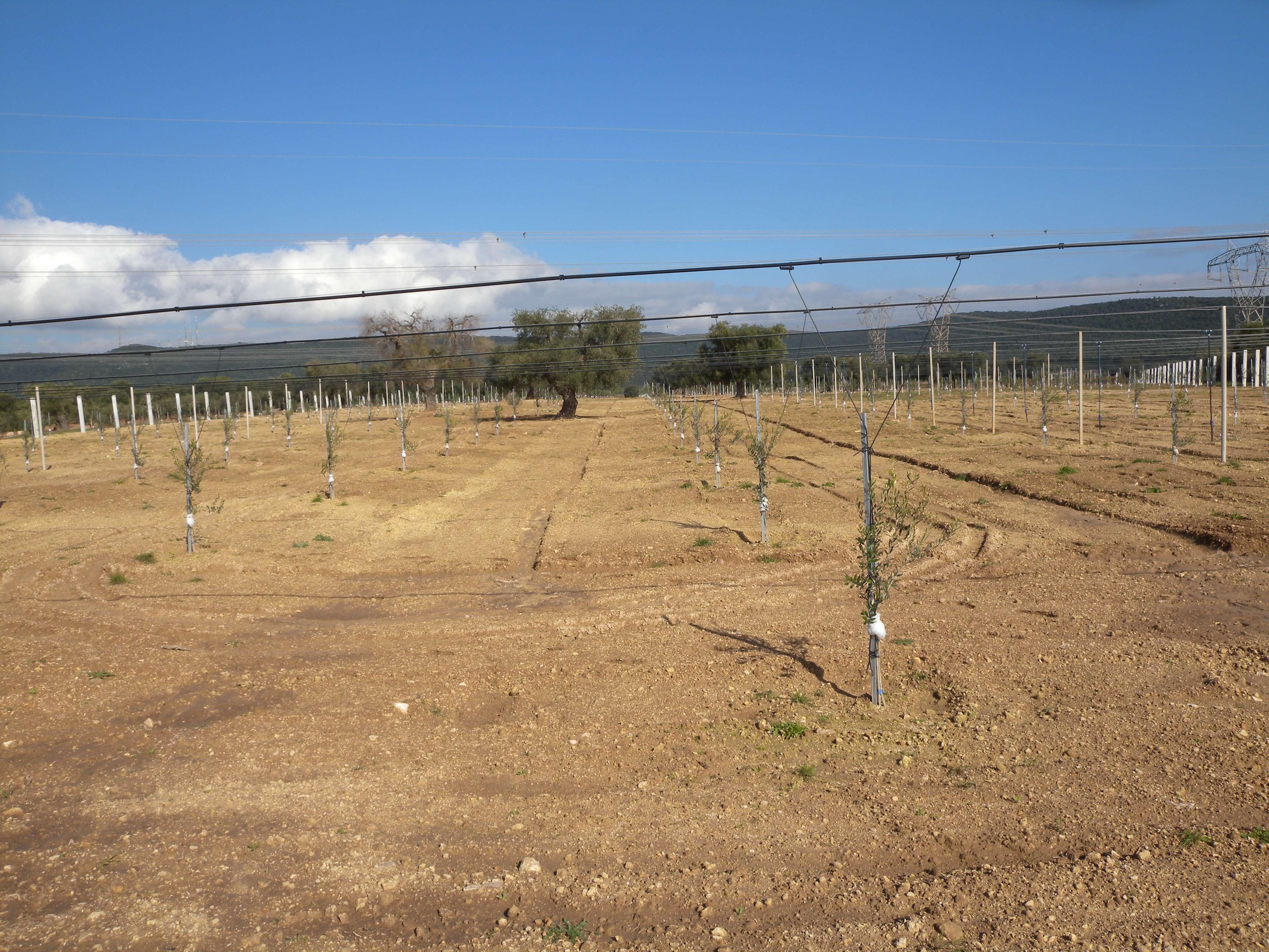 terreno agricolo con vigneto e ulivi