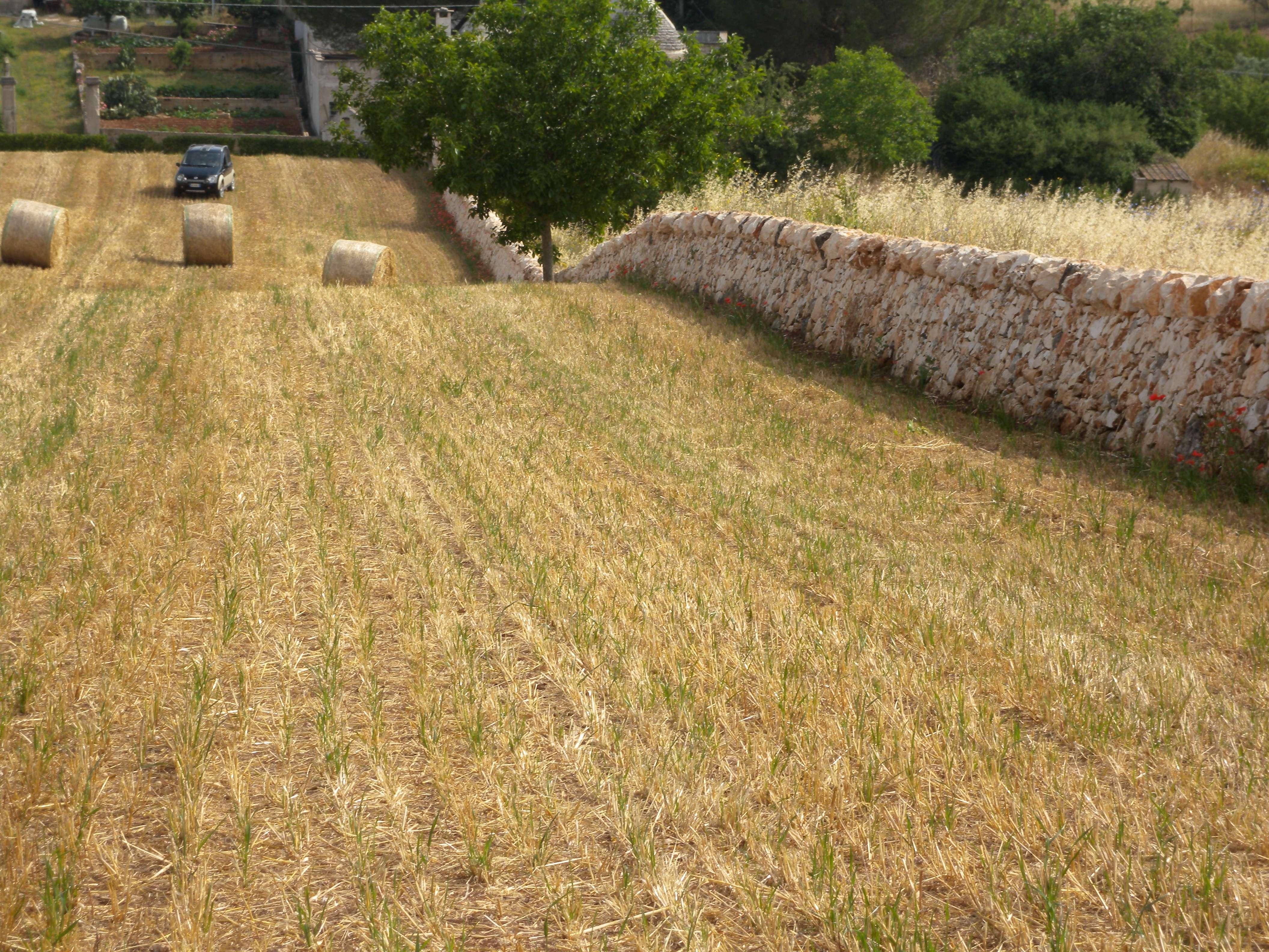 vista di campo di grano trebbiato