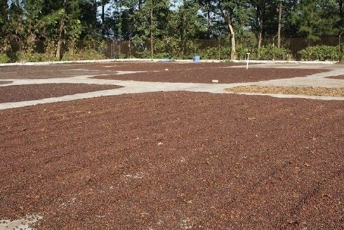piantagione di caffè