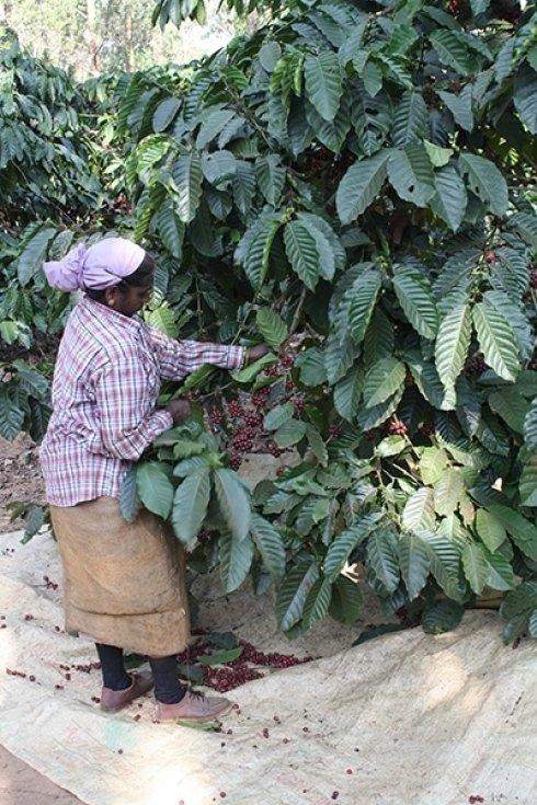 pianta di caffè