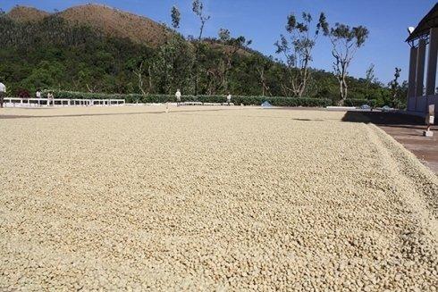 coltura di caffè