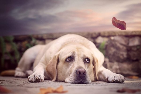 cane razza labrador sdraiato