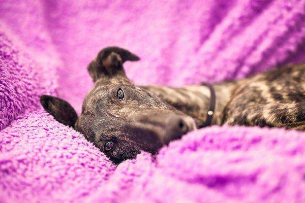 cane che si riposa sul divano con una coperta viola