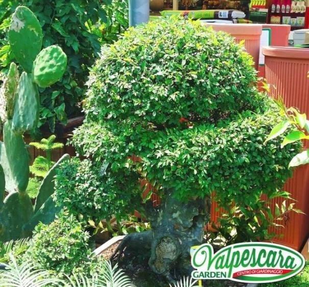 valpescara garden bonsai di zelkova