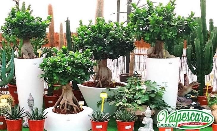 vivaio valpescara garden Bonsai di ficus