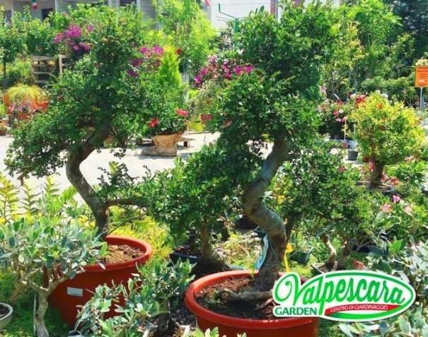 vivaio valpescara gardenbonsai di zelkova