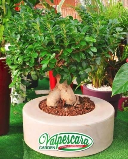 vivaio valpescara garden bonsai ficus