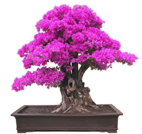 vivaio valpescara bougainvillea bonsai
