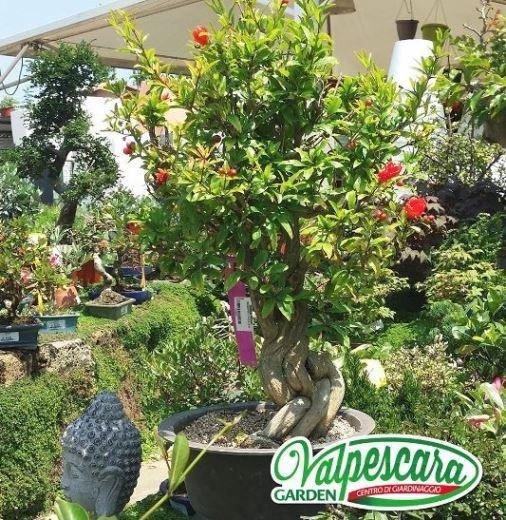 vivaio valpescara melograno bonsai