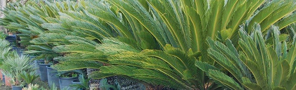 vendita palmizie