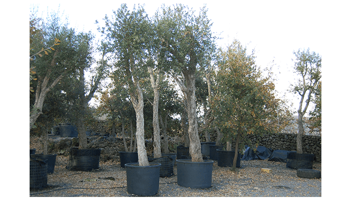 vendita alberi catania