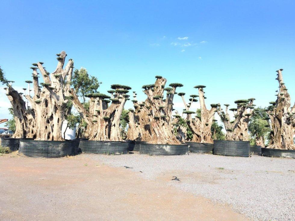 vendita alberi di ulivo