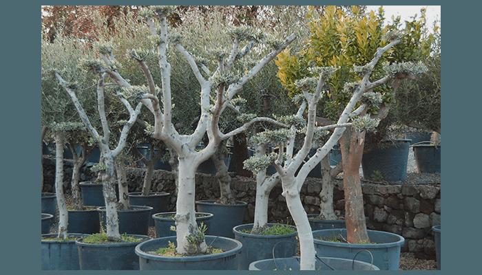 alberi secolari pedara
