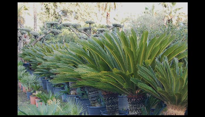 palmizie