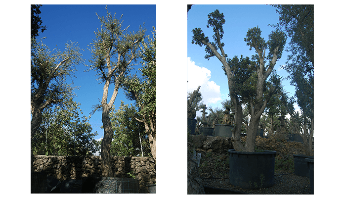 alberi per ombra