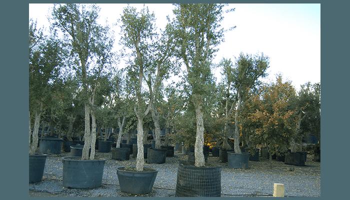vendita alberi da giardino catania