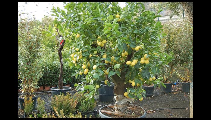 Produzione alberi secolari e da frutto pedara catania for Bonsai limone vendita