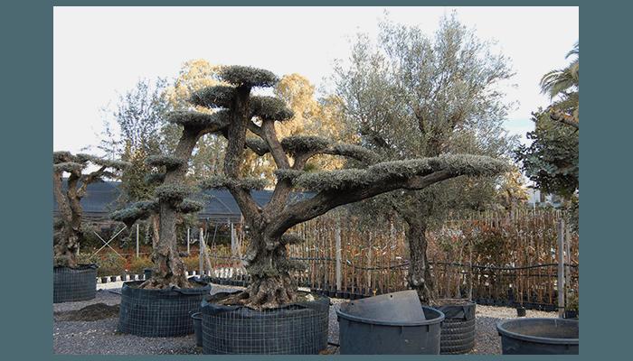 alberi di ulivo secolari