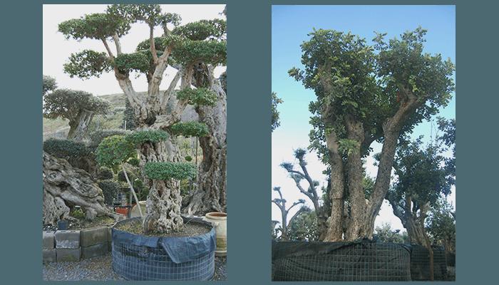 vivaio alberi secolari