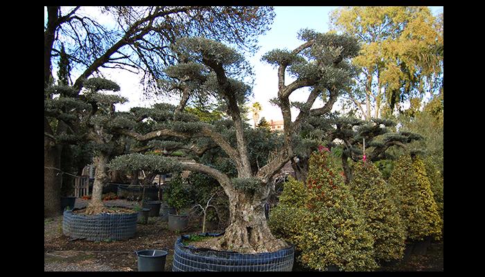 vendita alberi secolari catania