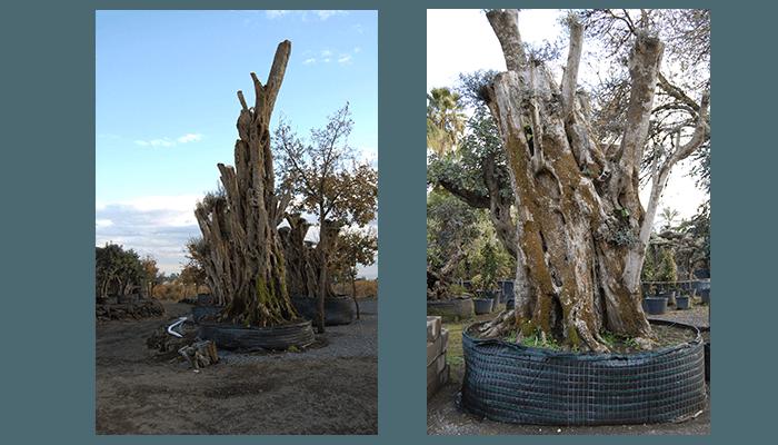 Produzione alberi secolari e da frutto pedara catania for Vendita alberi da frutto adulti