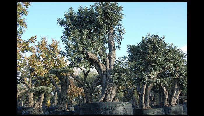 alberi di carrubbo