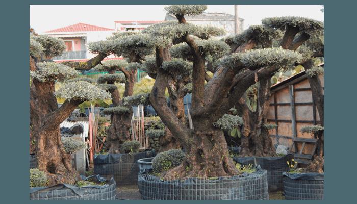 albero secolare di ulivo