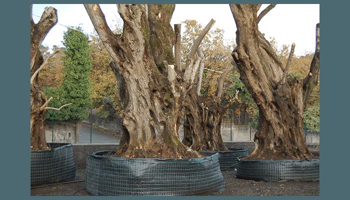alberi secolari catania
