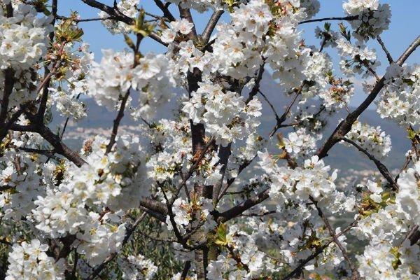 un albero di fiori bianchi