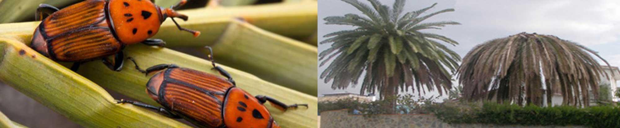 tonchio rosso della palma