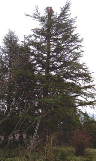 Taglio cima dell'albero