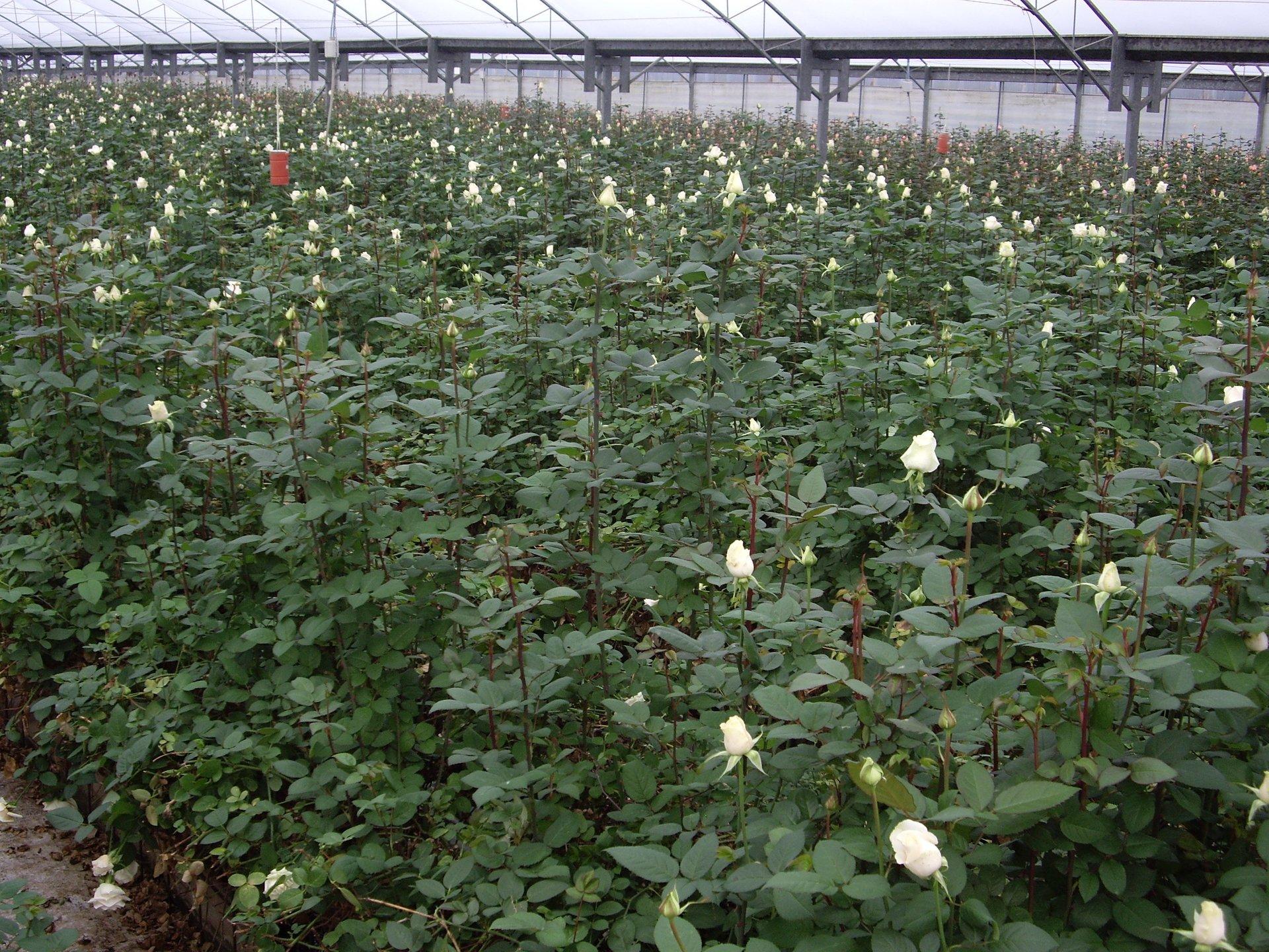 produzione rose recise